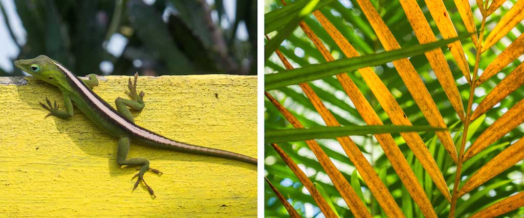 5. Lizard on sign and a yellow palm in Cuba
