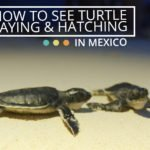 How to see Turtle Laying & Hatching in Mexico