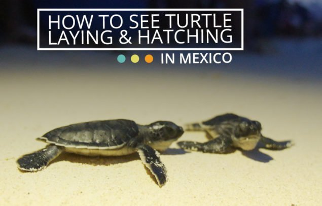 How to see turtle laying and hatching in mexico 2