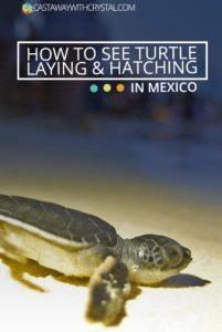 How to see turtle laying and hatching in mexico
