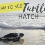 How to see Turtles Nest and Hatch (in Mexico)