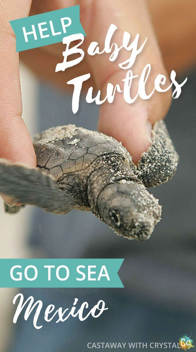 When is turtle hatching season in Mexico? | Cancun Turtle release | How to see baby turtles hatch in Akumal | How to see turtle nesting Puerto Vallarta | Where to see turtles lay eggs in Tulum? | Mazunte turtle season | Liberacion de las Tortugas | #Mexico #turtle #nest #eggs #hatch #Cancun #Akumal #Mazunte #Tulum