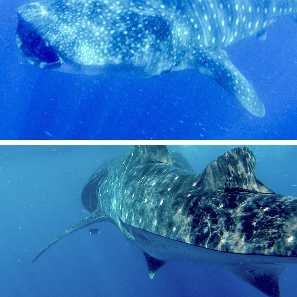 Whale shark tour from Isla Mujeres