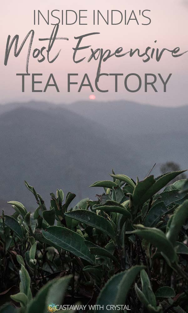 Factory Tour: Inside India's most expensive tea | A tour of Makaibari Tea Estate in Darjeeling India | See beautiful photography of ancient factory equipment, do a homestay with a Nepalese family and wander the surrounding forests