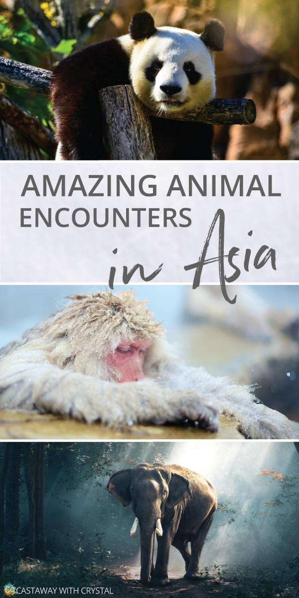 What animals can you see in Asia? | Amazing animals in Southeast Asia | How to see pandas in China | How to see snow monkeys | Can you see manta rays in Bali? | See elephants in South East Asia | #Asia #Panda #Monkey #Elephant #Turtles #Komodo