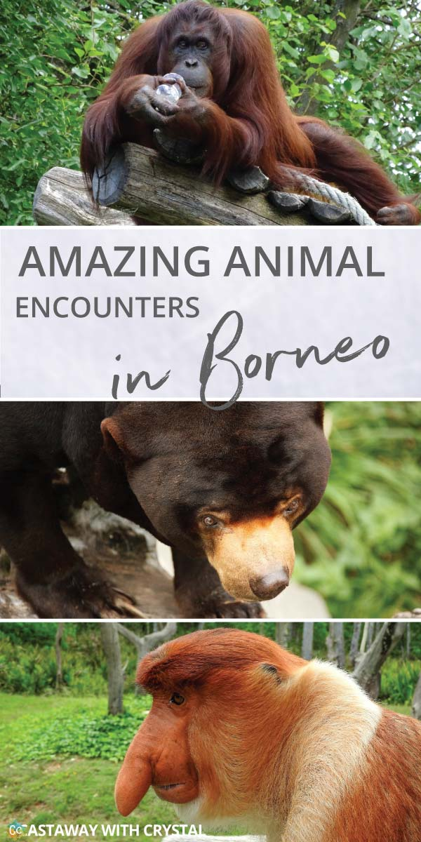 What animals can you see in Borneo?   Amazing animals in Borneo   How to see orangutans in the wild   How to see pygmy elephants   Can you see flying lemurs in Borneo?   See sun bears in Borneo   #Borneo #Orangutan #Elephant #Monkey #Bear #Lemur