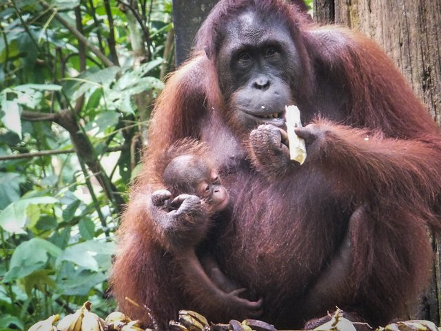 What animals can you see in Borneo? | Amazing animals in Borneo | How to see orangutans in the wild | How to see pygmy elephants | Can you see flying lemurs in Borneo? | See sun bears in Borneo