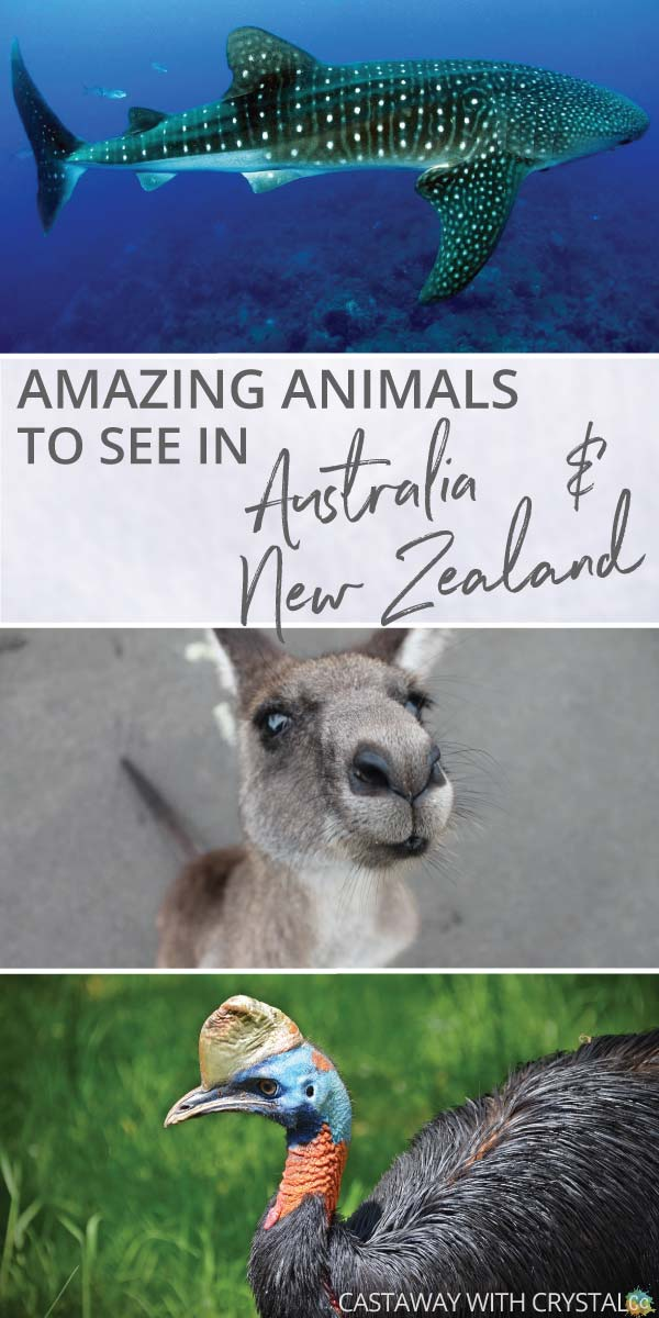 What animals can you see in Australia and New Zealand? | Amazing animals in New Zealand | How to see kangaroos in Australia | How to swim with dolphins | Where to see cassowary birds | #Animals #Australia #NewZealand #kangaroo #crocodile #cassowary #dolphins