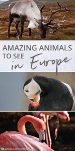 What animals can you see in Europe? | Amazing animals in Europe | How to see puffins in Scotland | How to see flamingos and reindeer? | Where to see bears in Europe | See Gannets in Scotland | #Animals #Europe #Scotland #Puffins #Reindeer #gannets #flamingo