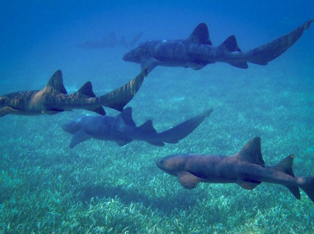 Nurse sharks | What animals can you see in Latin America? | Amazing Wildlife of South America