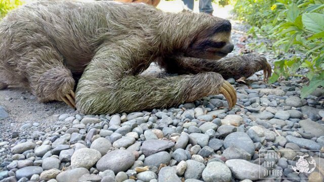 sloth in latin america | What animals can you see in Latin America? | Amazing Wildlife of South America