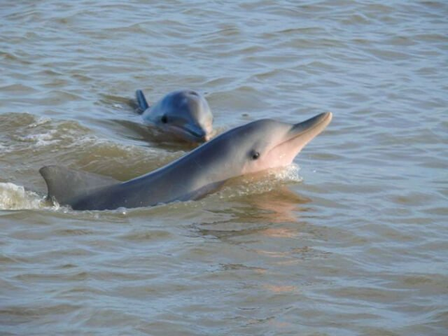 pink dolphins suriname | What animals can you see in Latin America? | Amazing Wildlife of South America