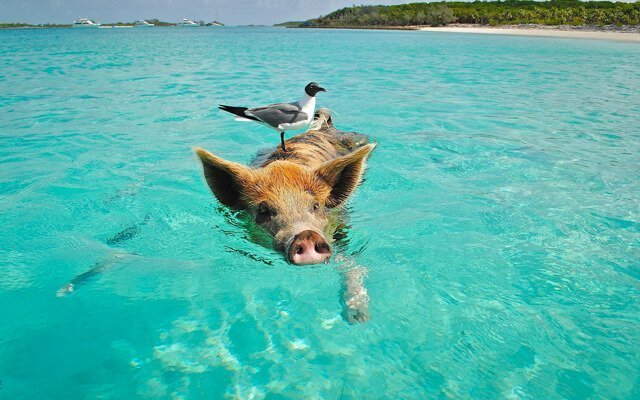 swim with pigs in the bahamas | What animals can you see in Latin America? | Amazing Wildlife of South America