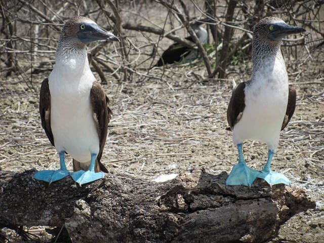 blue boobies on Galapagos | What animals can you see in Latin America? | Amazing Wildlife of South America