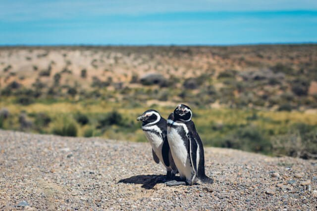 penguins in argentina | What animals can you see in Latin America? | Amazing Wildlife of South America