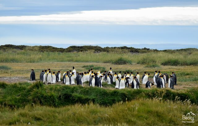 King Penguins in Patagonia | What animals can you see in Latin America? | Amazing Wildlife of South America