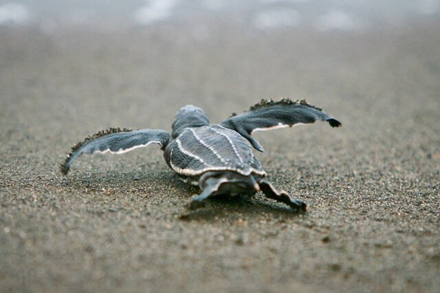 Let baby turtles go | What animals can you see in Latin America? | Amazing Wildlife of South America