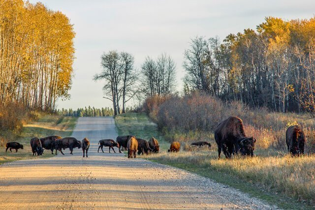 bison in Canada  Amazing animals in the USA and Canada | Amazing Wildlife of Antarctica
