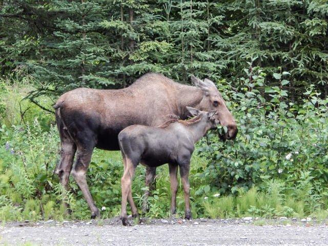 moose in Canada  Amazing animals in the USA and Canada | Amazing Wildlife of Antarctica