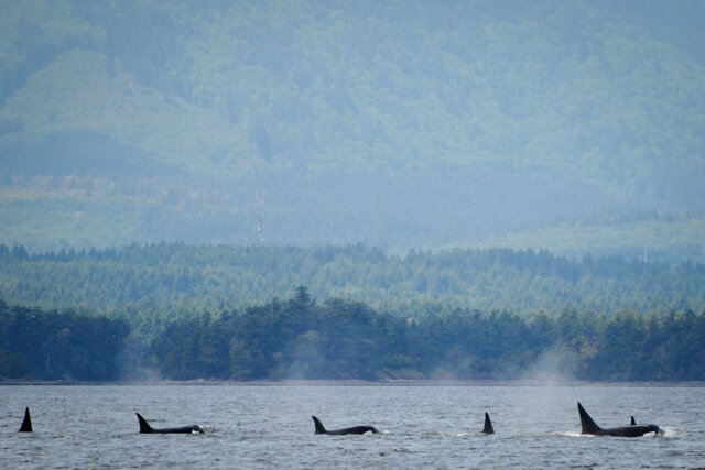 killer whales in Canada  Amazing animals in the USA and Canada | Amazing Wildlife of Antarctica