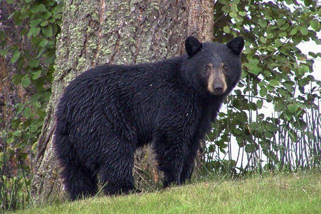 black bear canada What animals can you see in the USA and Canada? | Amazing Wildlife of Antarctica