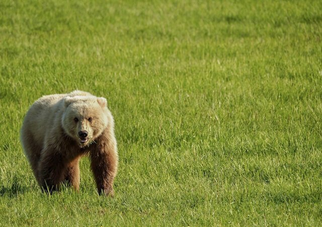 brown bear in Canada  Amazing animals in the USA and Canada | Amazing Wildlife of Antarctica