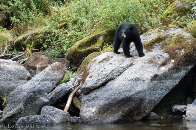 black bear in Canada  Amazing animals in the USA and Canada | Amazing Wildlife of Antarctica