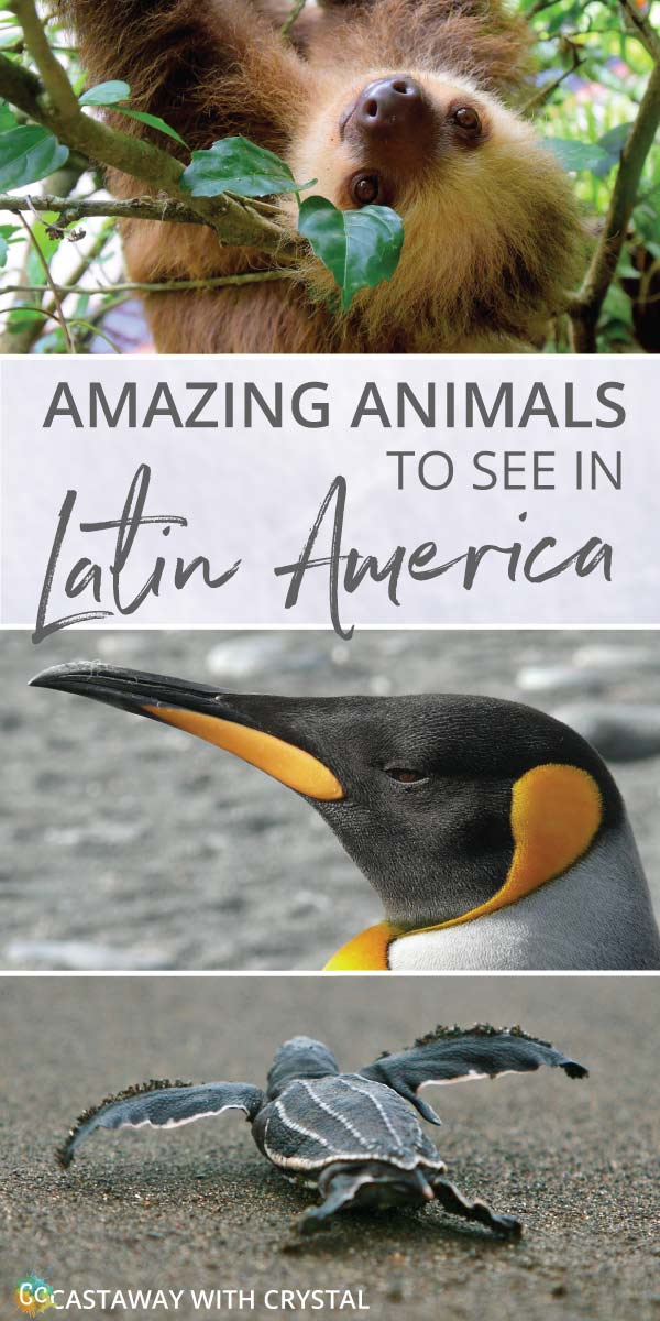 What animals can you see in Latin America? | Amazing Wildlife of South America | How to see sloths in Central America | How to see Pink Dolphins in the Amazon | Where to see Penguins in Patagonia | #Animals #Sloth #Penguin #Turtles #Latin #South #Central #America #Caribbean