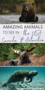 What animals can you see in the USA and Canada? | Amazing Wildlife of Antarctica | How to see bears in the United States of America | How to see Moose in Alaska | Where to see Killer Whales | How to see manatee for free | #Animals #USA #Canada #bear #whale #moose #Manatee