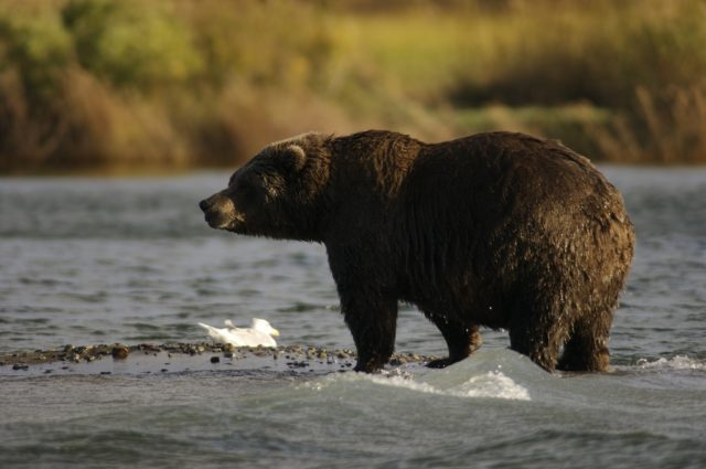 bear in the USA  Amazing animals in the USA and Canada | Amazing Wildlife of Antarctica