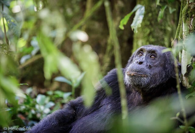 Chimpanzee - Where to go to see wild Africa savanna animals. What wild animals can you see in Africa?