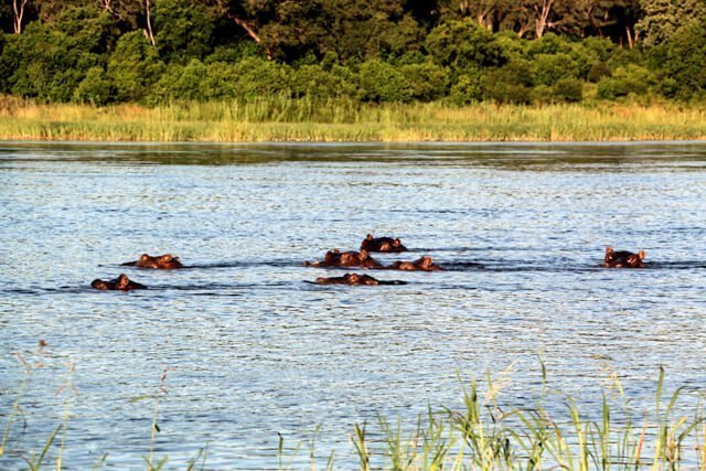 Hippos - Where to go to see wild Africa savanna animals. What wild animals can you see in Africa?