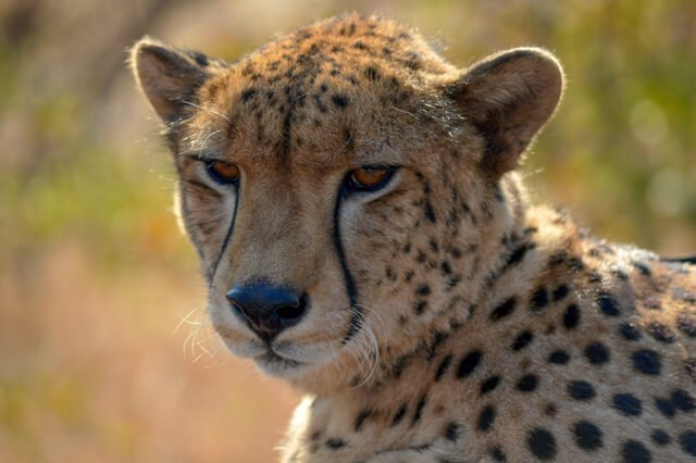 Cheetah Zimbabwe - Where to go to see wild Africa savanna animals. What wild animals can you see in Africa?