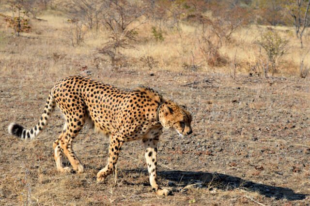 Cheetah - Where to go to see wild Africa savanna animals. What wild animals can you see in Africa?