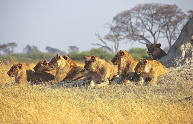 lions in borswana - Where to go to see wild Africa savanna animals. What wild animals can you see in Africa?