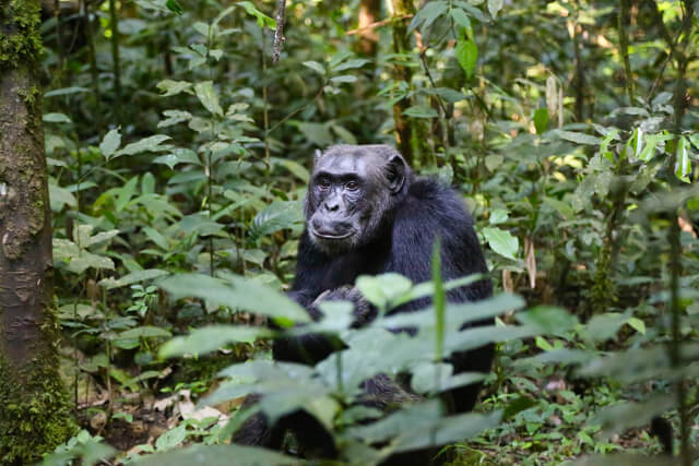 Chimp - Where to go to see wild Africa savanna animals. What wild animals can you see in Africa?