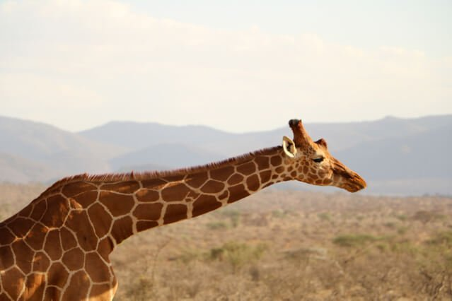 Giraffe - Where to go to see wild Africa savanna animals. What wild animals can you see in Africa?
