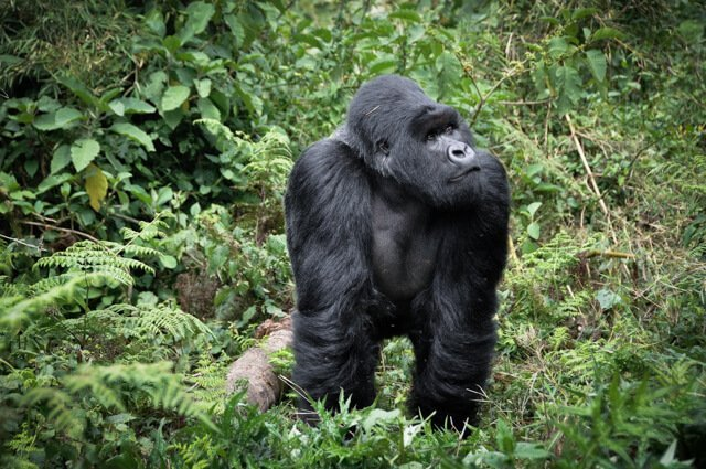 Gorilla - Where to go to see wild Africa savanna animals. What wild animals can you see in Africa?