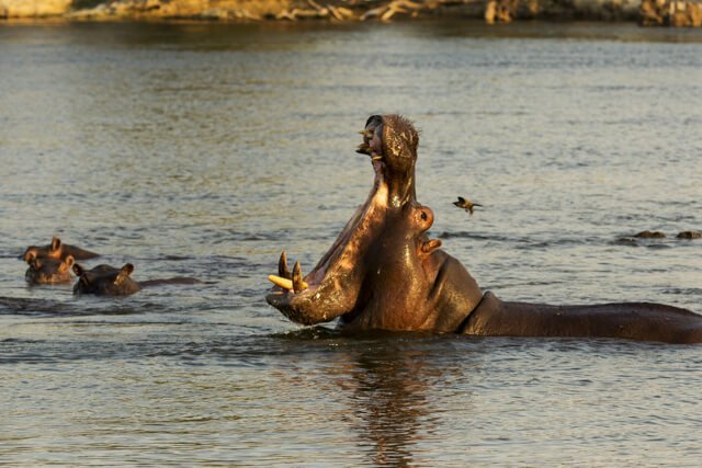 Hippo - Where to go to see wild Africa savanna animals. What wild animals can you see in Africa?