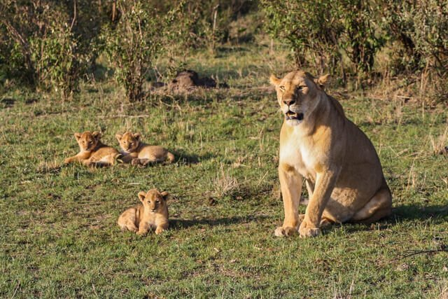 Lions cubs - Where to go to see wild Africa savanna animals. What wild animals can you see in Africa?