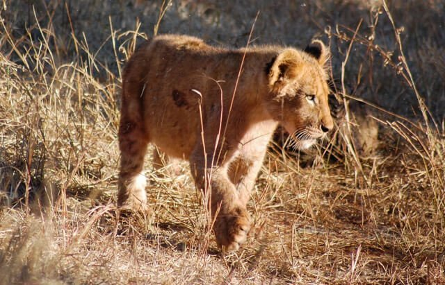Lion cub - Where to go to see wild Africa savanna animals. What wild animals can you see in Africa?
