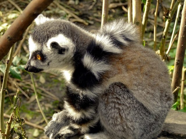 Lemur madagaskar - Where to go to see wild Africa savanna animals. What wild animals can you see in Africa?