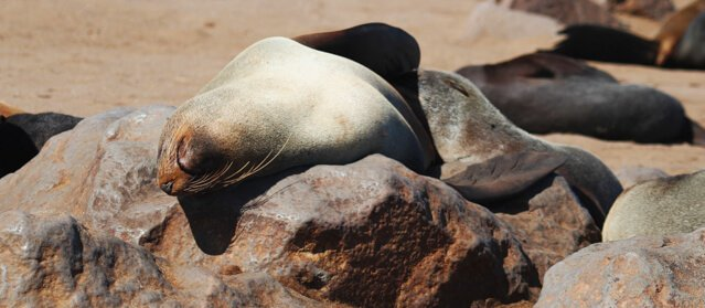 Seals - Where to go to see wild Africa savanna animals. What wild animals can you see in Africa?