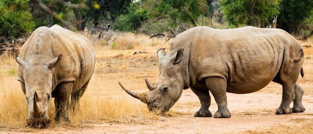 rhinos - Where to go to see wild Africa savanna animals. What wild animals can you see in Africa?