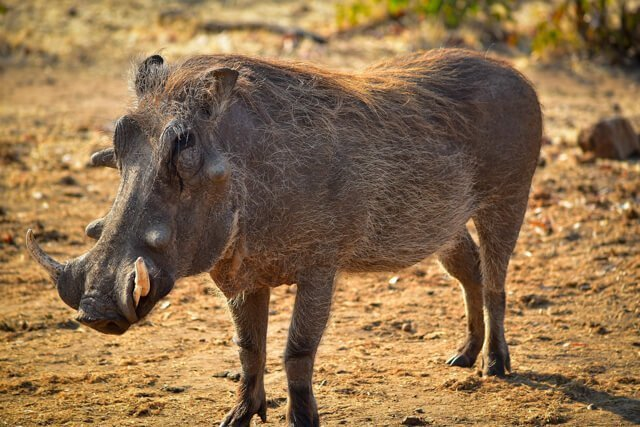 warthogs - Where to go to see wild Africa savanna animals. What wild animals can you see in Africa?