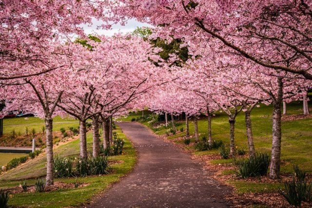 Cherry Grove in Auckland Domain -  - Free Things to do in Auckland New Zealand