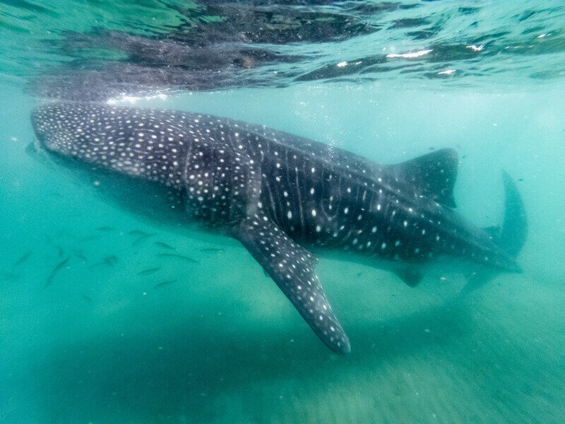 Do a whale shark tour from either Isla Mujeres or Isla Holox - Driving in Mexico Road Trip