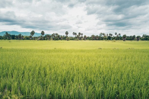 Lush rice paddies in Kampot for Backpacking Cambodia Itinerary