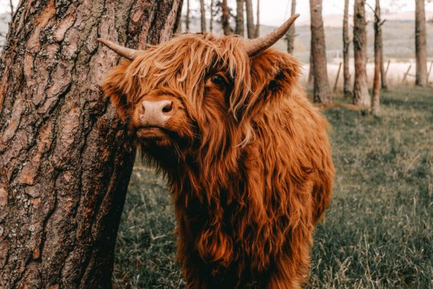 Highland cows in Pollok Park for Free things to do in Glasgow, Scotland, UK